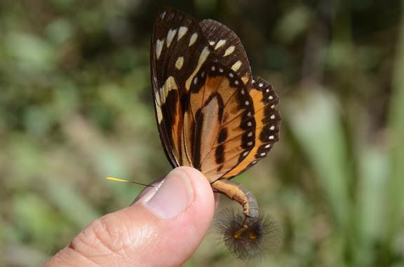 Lycorea cleobaea GODART, 1819. Au nord de Coroico à 1052 m d'alt. (Yungas, Bolivie), 17 octobre 2012. Photo : C. Basset