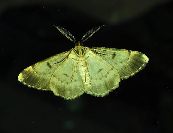 Geometridae : Ennominae : Boarmiini. Probablement : Gastrinodes argoplaca MEYRICK, 1892, verso. Umina Beach (New South Wales, Australie), 25 mars 2011. Photo : Barbara Kedzierski