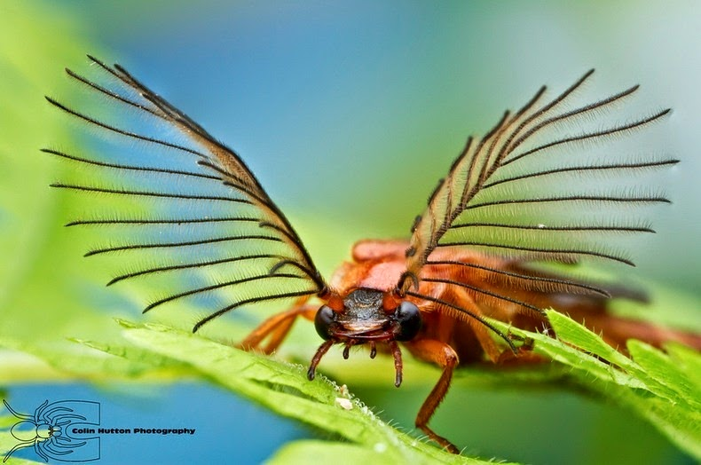 glowworm-beetle-1