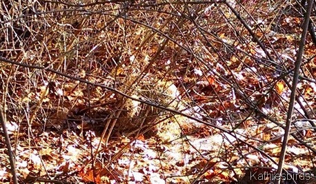 squirrel nest on ground 1-19-15