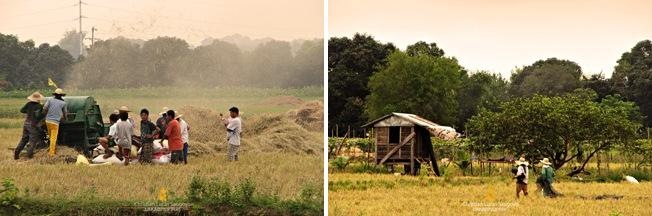 Harvest Time at San Rafael, Bulacan
