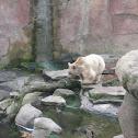 White Brown Bear