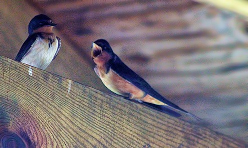 barn swallow 3
