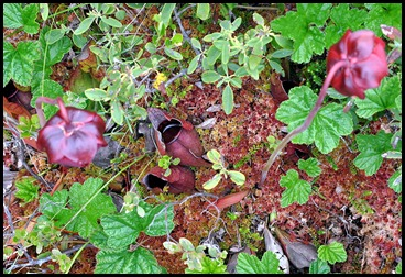 04w7a -  Hike - Pitcher Plant