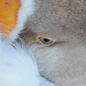 The Eye Of A Goose by Ed Hanson - Animals Birds ( white, brown, feathers, goose, eye )