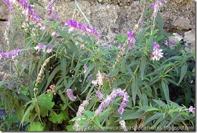 0814Cruz Tejeda-Tenteniguada(Salvia cruz)