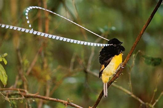 Тим Ламан: Тайны райских птиц clip_image011
