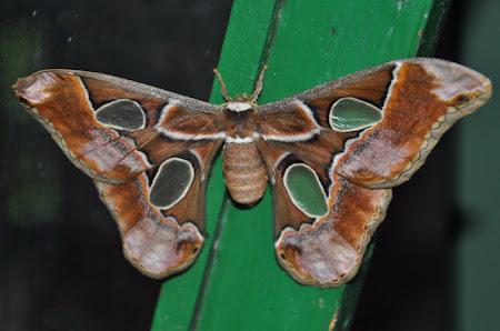 Fluturi Costa Rica: Un fel de... molie, mai mare
