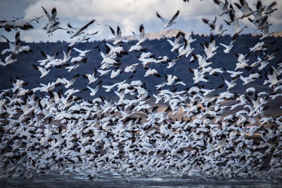 Snow Geese in Flight by Chuck Collins - Animals Birds
