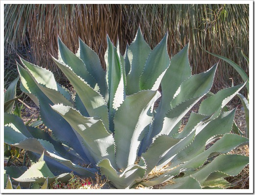 121013_RBG_Agave-Mr-Ripple_02