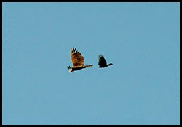 03 - Small bird chasing the Turkey Vulture