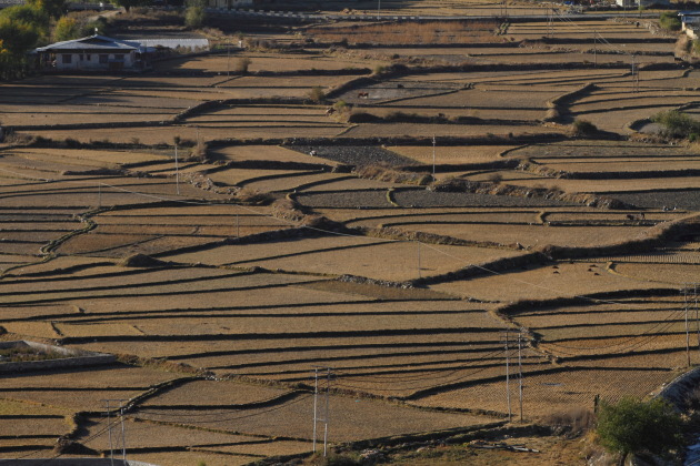 Dry Rice Fields of Paro, Bhutan