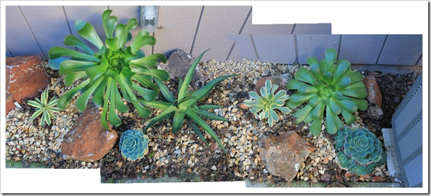 121218_backyard_succulent_bed_pano2