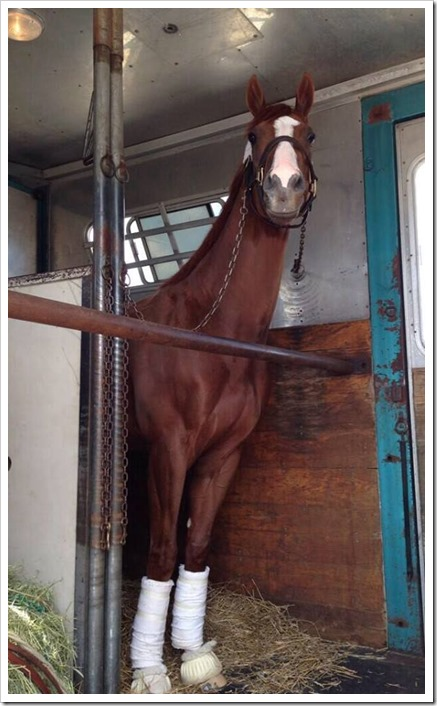 California Chrome after his Derby win waiting to board the plane for Maryland Photo | Barkley Porter