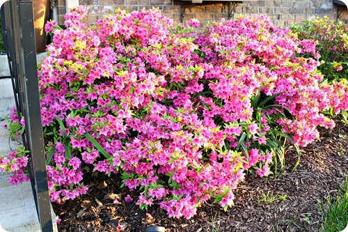 pink azaleas front of house