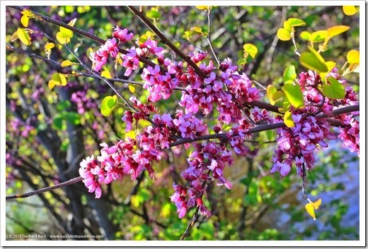 150307_UCDA_050_cercis-occidentalis