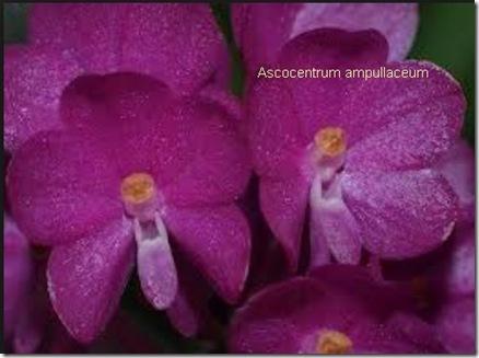 Ascocentrum ampullaceum