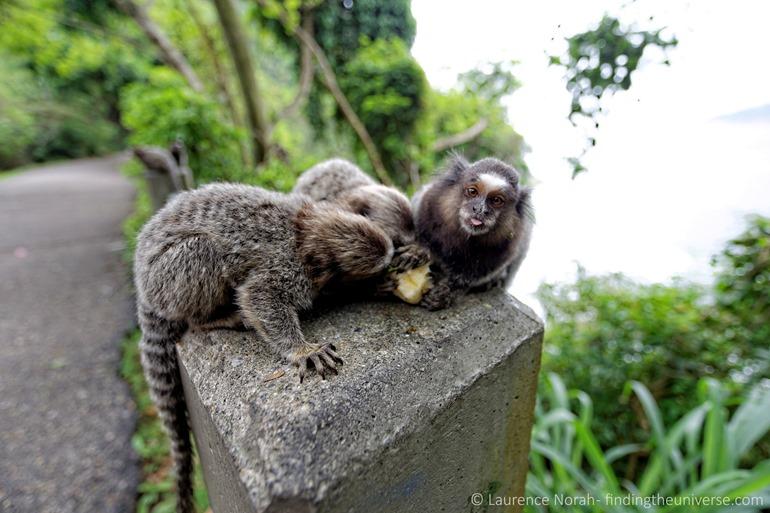 Monkey Tongue Rio scaled