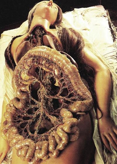 Zumbo cera anatomica giovane donna con colon e intestino (medio)