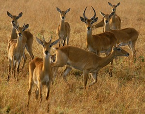 several antelopes species inhabit Lake Mburo National Park