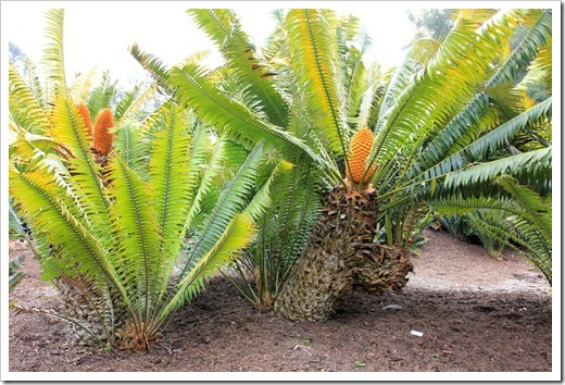 130403_Lotusland_Encephalartos-paucidentatus_04