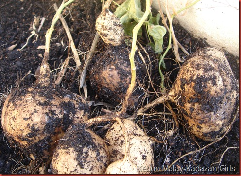 We Can Grow Yam Bean Here In Adelaide And It Is Also Possible To Them Containers I Had One Plant That Were Sowed Early January Which Was Grown
