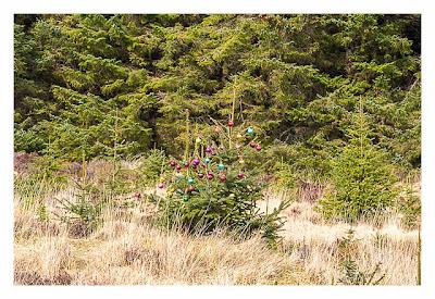 Wicklow-Mountain - die alte Militärstrasse - Weihnachtsbaum