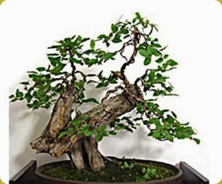 Bonsai_carpino_324x268