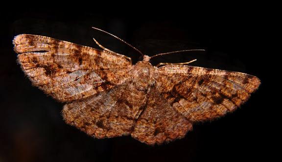 Geometridae : Ennominae : Boarmiini : Gastrinodes bitaeniaria LE GUILLOU, 1841, femelle. Umina Beach (NSW, Australie), 3 octobre 2011. Photo : Barbara Kedzierski