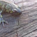 Tritón jaspeado (ES) marbled newt (EN)