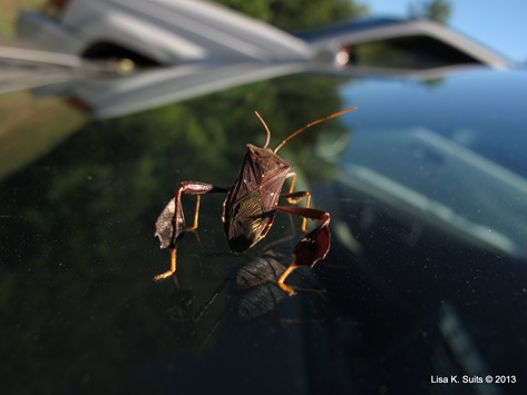 leaf-footed bug on windshield