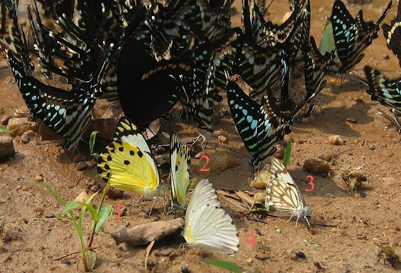 Pieridae : 1. Belenois calypso DRURY, 1773. 2. Belenois theora DOUBLEDAY, 1846. 3. Belenois aurota FABRICIUS, 1793. 4. Appias sabina FELDER & FELDER, 1865. Bobiri Forest (Ghana), 22 janvier 2006. Photo : J. F. Christensen