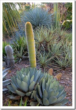 121013_RBG_fall_sale_Agave-parryi- -cleistocactus