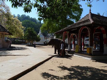 Imagini Sri Lanka: elefant in templu