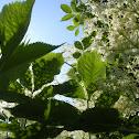 European Elderberry
