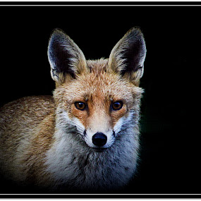 Fox. by Mark Milham - Animals Other ( fox, nature, vixon, dark, animal )