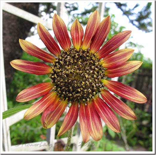 06-23-sunflower2