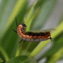 Common Crow Caterpillar