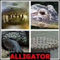 ALLIGATOR- Whats The Word Answers