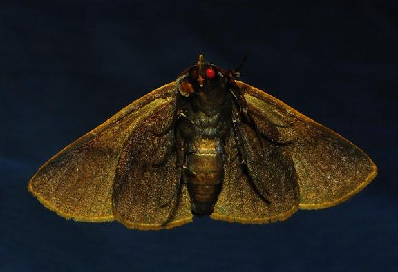 Noctuidae : Catocalinae : Ophyx ochroptera GUENÉE, 1852, face ventrale. Umina Beach (NSW, Australie), 17 octobre 2011. Photo : Barbara Kedzierski