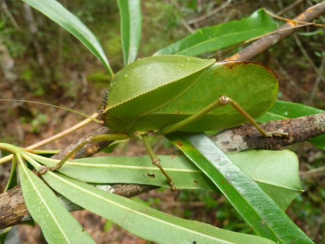 Tettigonidae. Saha Forest Camp, Anjozorobe (Madagascar). 3 janvier 2014. Photo : J. Marquet