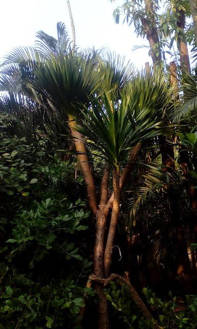Harga jual pohon pandan bali bercabang paling murah