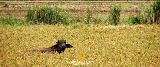 A Carabao Sitting Idly along the Ricefield of San Rafael, Bulacan