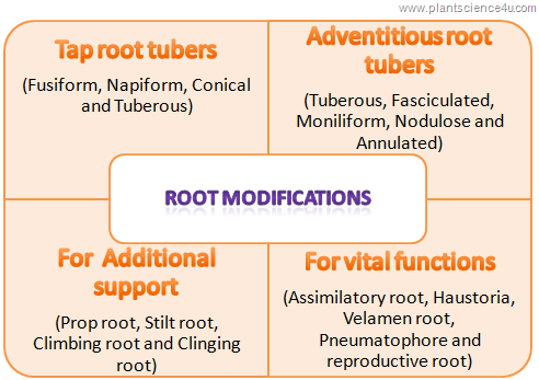 Root modificaitons