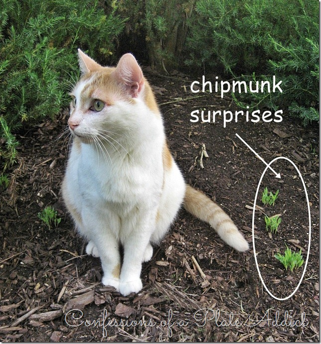 Chipmunk Surprises