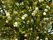Viscum - Mistletoe Berries