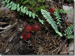 Hygrocybe conica group