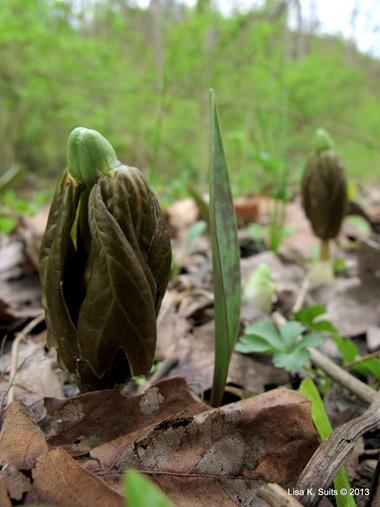 2 leaf mayapple
