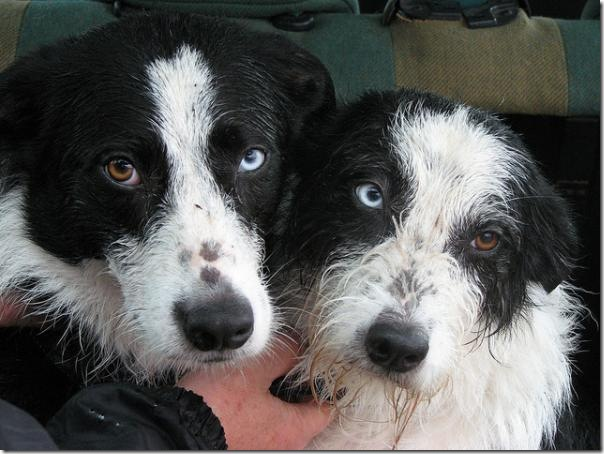 2_collie-sisters.img_assist_custom-600x450
