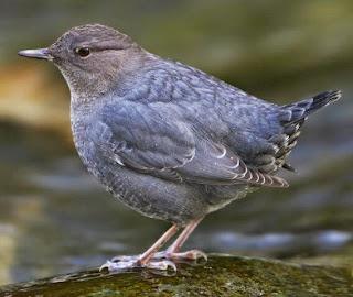 download suara burung american dipper
